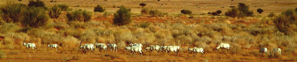 Oryx in UBM